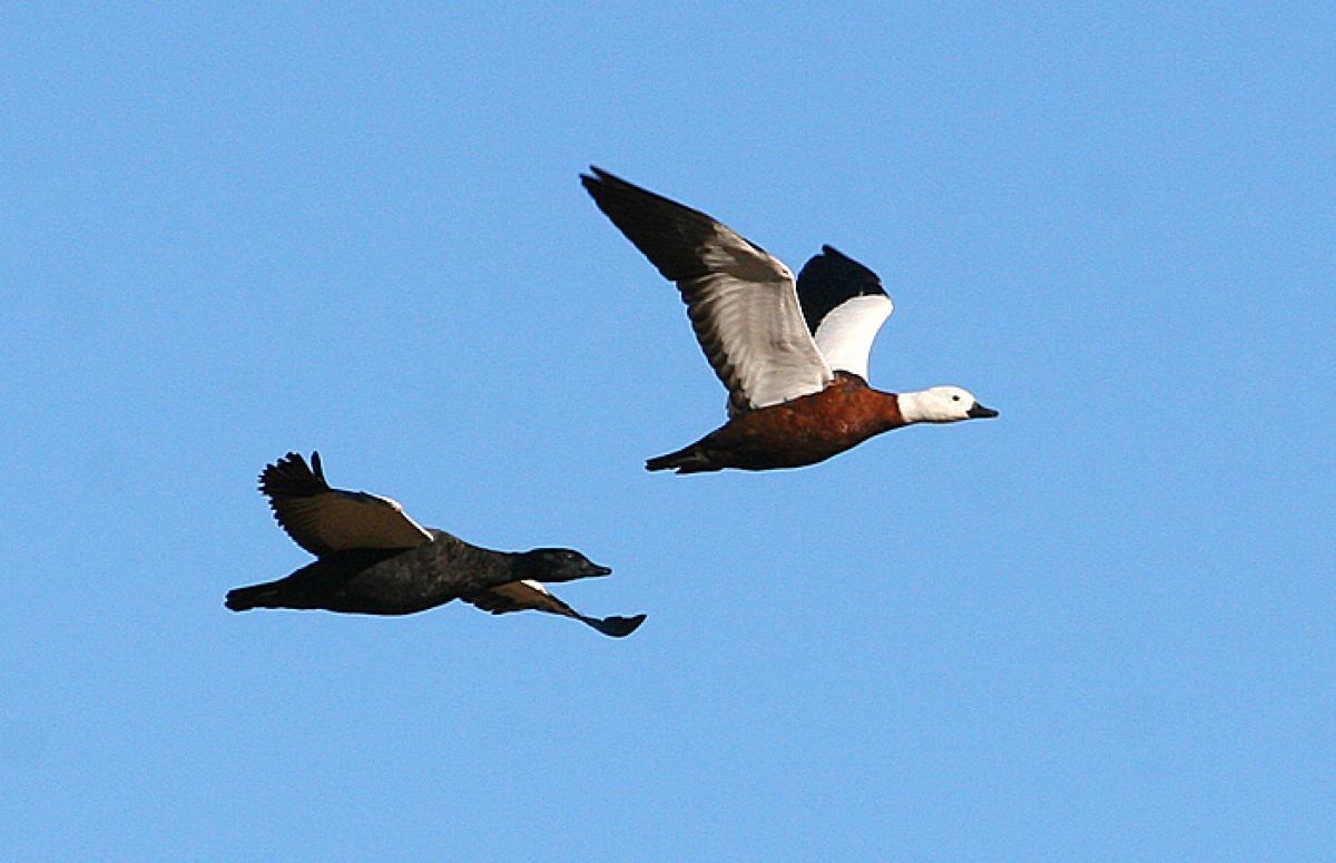 Paradise shelduck | New Zealand Birds Online