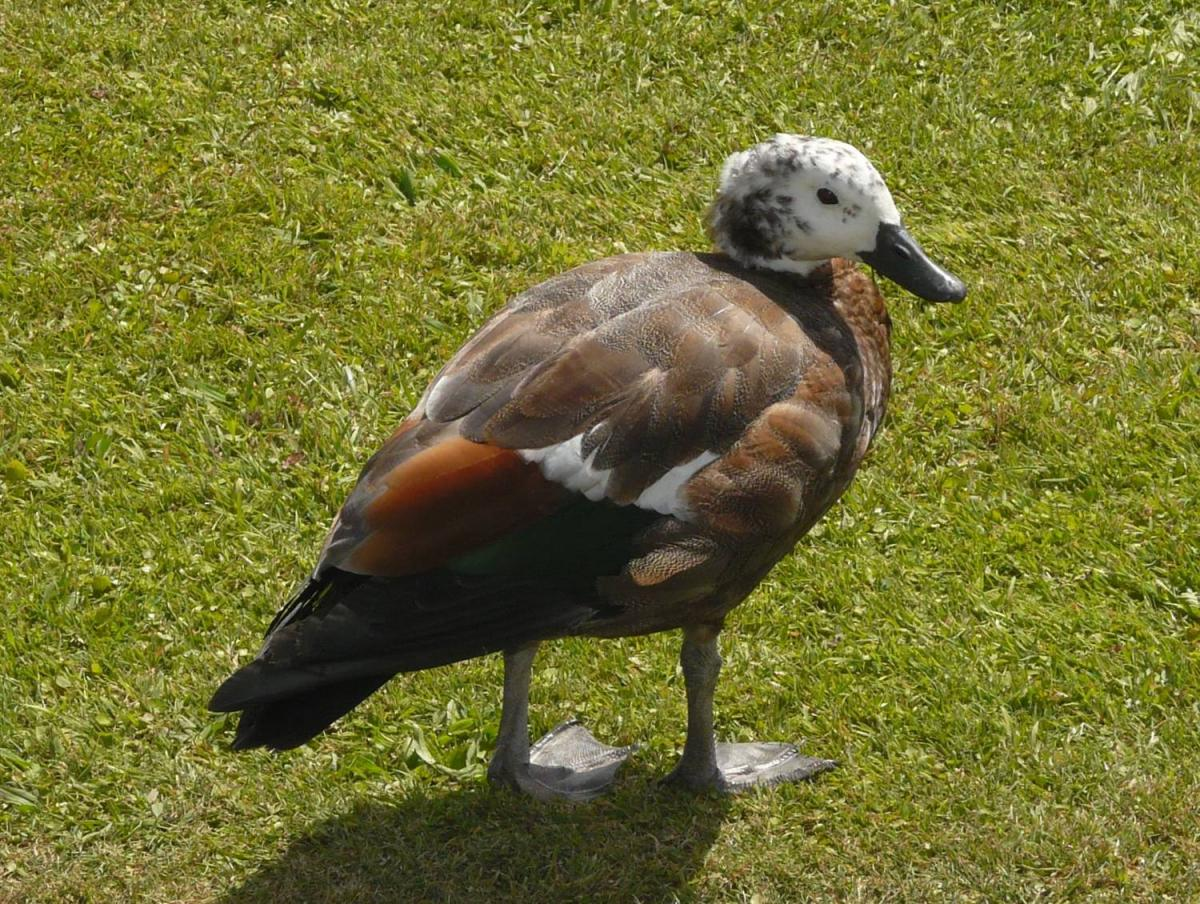 paradise shelduck new zealand birds online