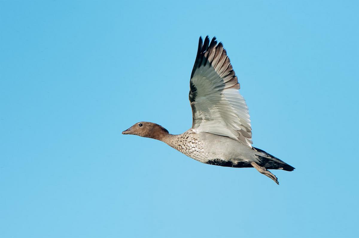 Wood Ducks In Flight