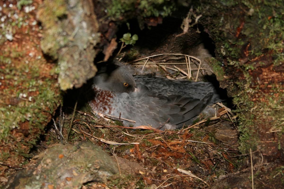 mallard duck nesting behavior