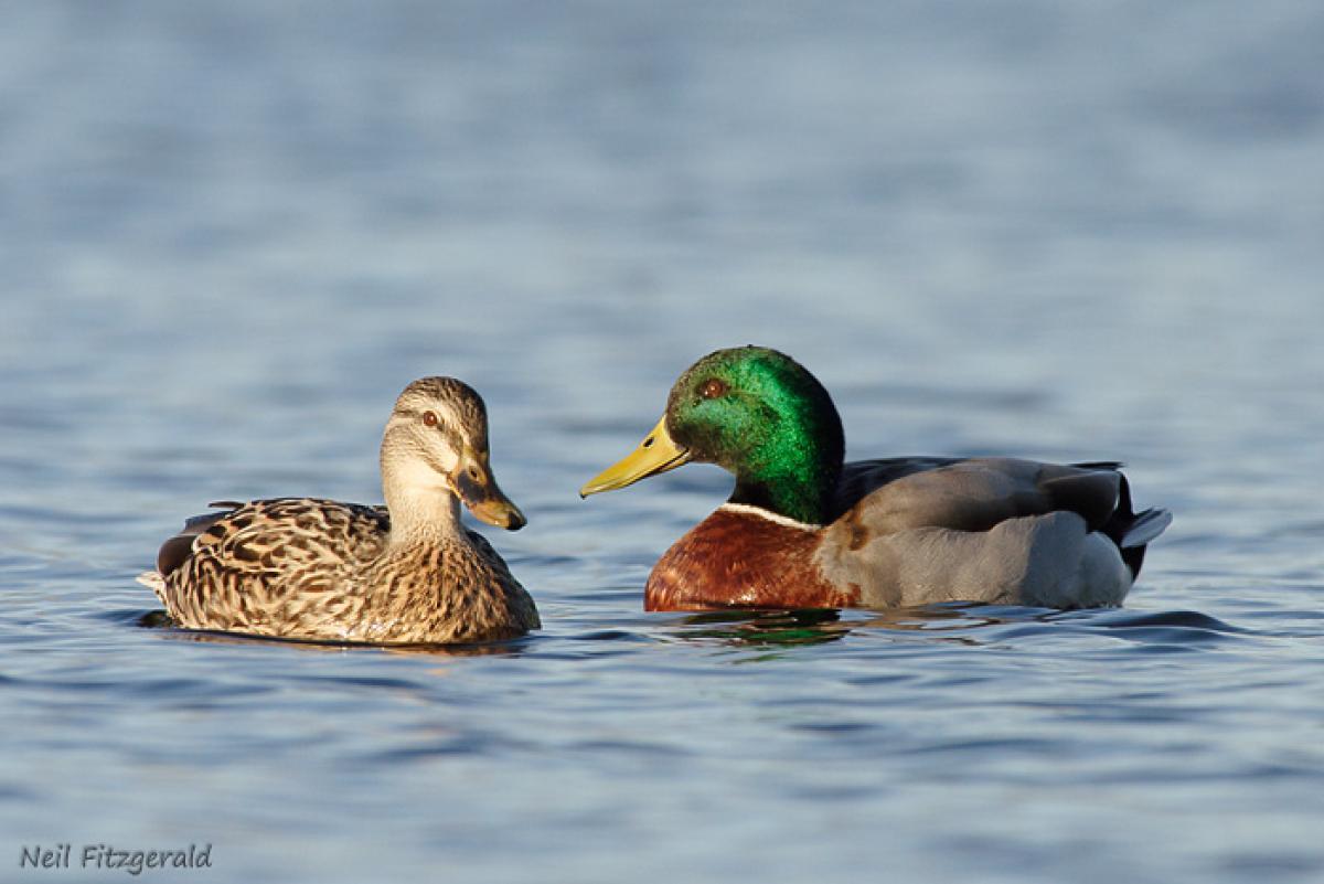 Lake Rotoroa Hamilton January Mallard Adult Female Left And Male Right