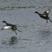 New Zealand dabchick. In flight. Mangere, January 2013. Image © David Boyle by David Boyle