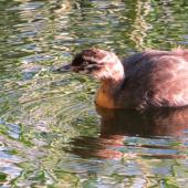 New Zealand dabchick. 7-week-old chick. Mangapoike Rd, Wairoa, March 2013. Image © Mary Campbell by Mary Campbell