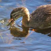 New Zealand dabchick. 11-week-old chick eating a dragonfly. Mangapoike Rd, Wairoa, March 2013. Image © Mary Campbell by Mary Campbell
