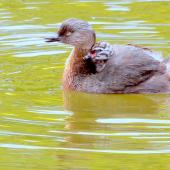 New Zealand dabchick. Adult with juvenile on back. Palmerston North, December 2015. Image © Alex Scott by Alex Scott
