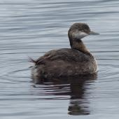 New Zealand dabchick. Immature. Waimanu Lagoon, Waikanae, April 2015. Image © Alan Tennyson by Alan Tennyson