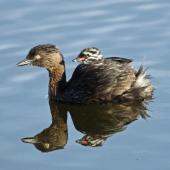 New Zealand dabchick. Adult carrying chick. Waikanae Lagoons, January 2014. Image © Roger Smith by Roger Smith