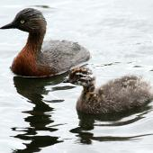 New Zealand dabchick. Juvenile with adult. Wanganui, September 2012. Image © Ormond Torr by Ormond Torr