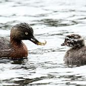 New Zealand dabchick. Adult feeding juvenile. Wanganui, September 2012. Image © Ormond Torr by Ormond Torr