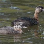 New Zealand dabchick. Juvenile and adult. Auckland Botanic Gardens, December 2010. Image © Philip Griffin by Philip Griffin