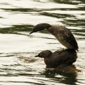 New Zealand dabchick. Two adults mating. Lake Taupo, December 2017. Image © Oscar Thomas by Oscar Thomas