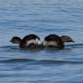 New Zealand dabchick. Pair of adults in territorial display. Lake Tarawera, December 2008. Image © Phil Battley by Phil Battley