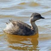 Hoary-headed grebe. Adult female in breeding plumage. Lake Elterwater, September 2018. Image © Duncan Watson by Duncan Watson