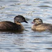 Hoary-headed grebe. Adult with chick. Lake Elterwater, November 2019. Image © Scott Brooks (ourspot) by Scott Brooks