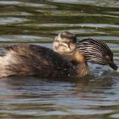 Hoary-headed grebe. Adult feeding chick (has something in beak). Lake Elterwater, November 2019. Image © Scott Brooks (ourspot) by Scott Brooks