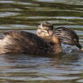 Hoary-headed grebe. Adult feeding chick (has something in beak). Lake Elterwater, November 2019. Image © Scott Brooks (ourspot) by Scott Brooks
