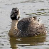 Hoary-headed grebe. Adult in breeding plumage. Lake Elterwater, November 2019. Image © Scott Brooks (ourspot) by Scott Brooks