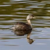 Hoary-headed grebe. Adult breeding. Laratinga Wetlands, South Australia, April 2016. Image © John Fennell by John Fennell