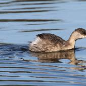 Hoary-headed grebe. Immature. Laratinga Wetlands, South Australia, June 2015. Image © John Fennell by John Fennell