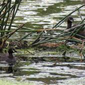 Australasian little grebe. Adults near a single chick on nest. Whangarei Water Treatment Plant, February 2017. Image © Scott Brooks (ourspot) by Scott Brooks