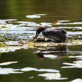 Australasian little grebe. Adult building nest. Auckland region, January 2012. Image © Craig Steed by Craig Steed