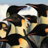 Emperor penguin. Adults. Haswell archipelago, near Mirny Station, Antarctica, September 2012. Image © Sergey Golubev by Sergey Golubev