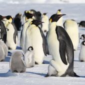Emperor penguin. Adults and chicks in colony. Haswell archipelago, near Mirny Station, Antarctica, October 2015. Image © Sergey Golubev by Sergey Golubev