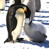Emperor penguin. Chick being fed. Haswell archipelago, near Mirny Station, Antarctica, November 2012. Image © Sergey Golubev by Sergey Golubev