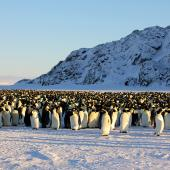 Emperor penguin. Adults incubating in colony. Haswell archipelago, near Mirny Station, Antarctica, August 2012. Image © Sergey Golubev by Sergey Golubev