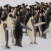 Emperor penguin. Adults. Haswell archipelago, near Mirny Station, Antarctica, October 2012. Image © Sergey Golubev by Sergey Golubev