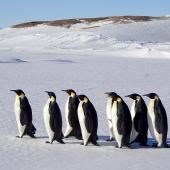 Emperor penguin. Adults walking. Haswell archipelago, near Mirny Station, Antarctica, October 2015. Image © Sergey Golubev by Sergey Golubev