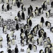 Emperor penguin. Adults and chicks in colony. Haswell archipelago, near Mirny Station, Antarctica, September 2015. Image © Sergey Golubev by Sergey Golubev