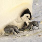 Emperor penguin. Chick being brooded by parent. Haswell archipelago, near Mirny Station, Antarctica, September 2012. Image © Sergey Golubev by Sergey Golubev