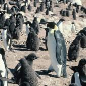 Emperor penguin. Adult among Adelie penguins. Hop Island, Prydz Bay, Antarctica, February 1990. Image © Colin Miskelly by Colin Miskelly