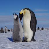 Emperor penguin. Chick begging. Gould Bay, Weddell Sea, November 2014. Image © Colin Miskelly by Colin Miskelly