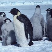 Emperor penguin. Adult with chicks. Dumont D'Urville Station, Antarctica. Image © Department of Conservation ( image ref: 10029733 ) by Brian Ahern. Courtesy of Department of Conservation