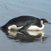 Emperor penguin. Immature. Peka Peka Beach, Kapiti coast, June 2011. Image © Alan Tennyson by Alan Tennyson