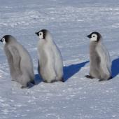 Emperor penguin. Three chicks. Gould Bay, Weddell Sea, November 2014. Image © Colin Miskelly by Colin Miskelly