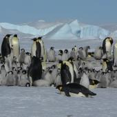 Emperor penguin. Adults and chicks in colony. Snow Hill Island, Antarctic Peninsula, October 2008. Image © Tony Crocker by Tony Crocker