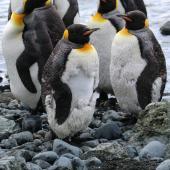 King penguin. Moulting adults. Sandy Bay, Macquarie Island, December 2016. Image © Geoff de Lisle by Geoff de Lisle