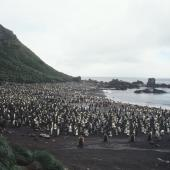King penguin. Colony. Macquarie Island, January 2006. Image © Department of Conservation ( image ref: 10062303 ) by Sam O'Leary. Courtesy of Department of Conservation