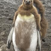 King penguin. Chick moulting into first feathers. Salisbury Plain, South Georgia, January 2016. Image © Rebecca Bowater  by Rebecca Bowater FPSNZ AFIAP www.floraandfauna.co.nz