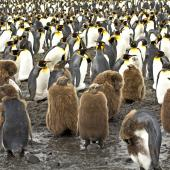 King penguin. Colony with adults and large chicks. Salisbury Plain, South Georgia, January 2016. Image © Rebecca Bowater  by Rebecca Bowater FPSNZ AFIAP www.floraandfauna.co.nz