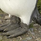 King penguin. Adult's feet. St Andrew Bay, South Georgia, January 2016. Image © Rebecca Bowater  by Rebecca Bowater FPSNZ AFIAP www.floraandfauna.co.nz