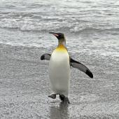 King penguin. Adult running in from the sea. Salisbury Plain, South Georgia, January 2016. Image © Rebecca Bowater  by Rebecca Bowater FPSNZ AFIAP www.floraandfauna.co.nz