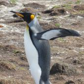 King penguin. Adult. Falkland Islands, December 2008. Image © Alan Tennyson by Alan Tennyson