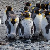 King penguin. Moulting adults. Macquarie Island, November 2011. Image © Sonja Ross by Sonja Ross