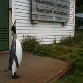 King penguin. Visitor to Campbell Island. Campbell Island, January 2007. Image © Matt Charteris by Matt Charteris