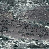 Adelie penguin. Breeding colonies with large chicks. Hop Island, Prydz Bay, Antarctica, January 1990. Image © Colin Miskelly by Colin Miskelly