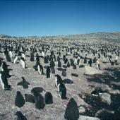 Adelie penguin. Breeding colony with large chicks. Hop Island, Prydz Bay, Antarctica, January 1990. Image © Colin Miskelly by Colin Miskelly